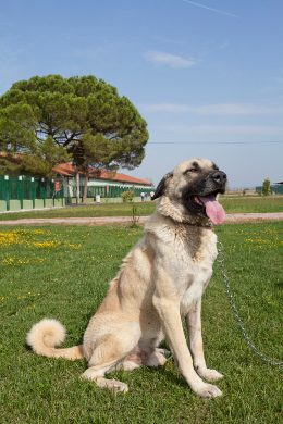 Facts About the Kangal Shepherd