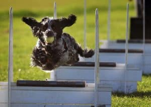 dog flyball sports