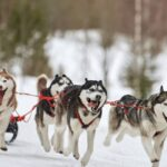 funnwith sled dogs
