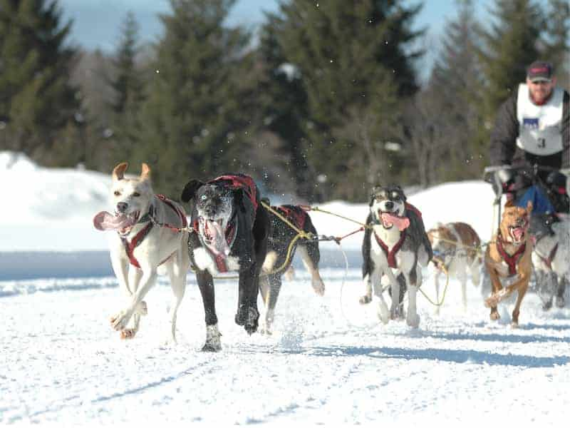 Understanding And Enjoying the Iditarod Dog Sled Race
